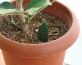 植物 対策 観葉 コバエ